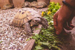Cameo Tartaruga Blitzen che mangia insalata