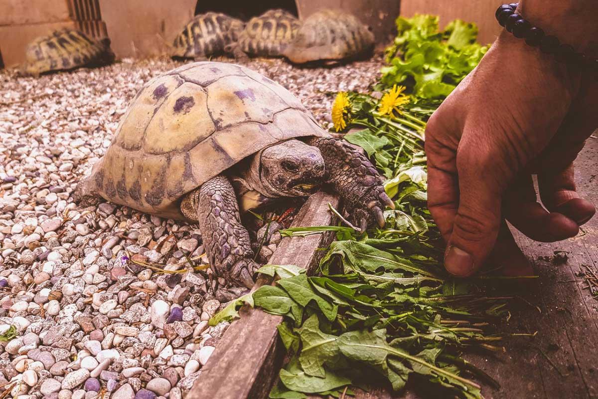 L 39 ambiente perfetto di una tartaruga di terra i 7 for Terra per tartarughe di terra