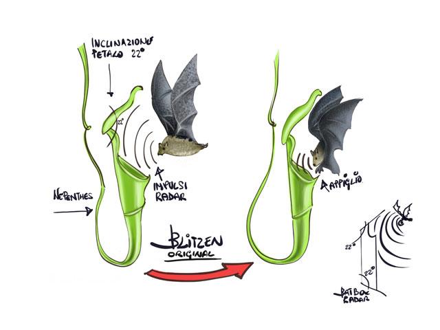 Disegno che mostra come funziona la Nephentes hemsleyana per attirare i Pipistrelli