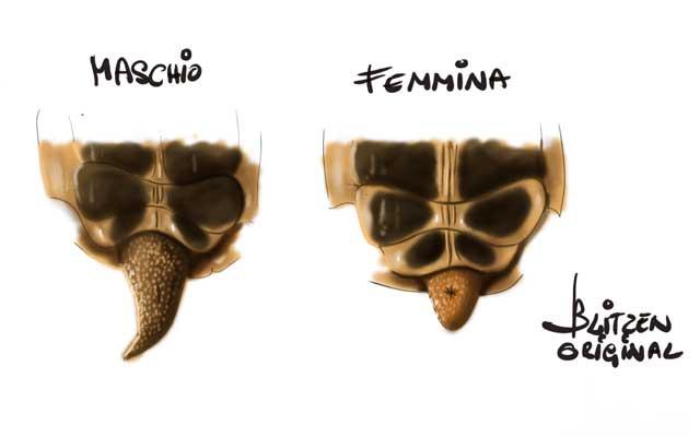 Il sesso delle tartarughe di terra maschio o femmina for Tartaruga di terra maschio o femmina