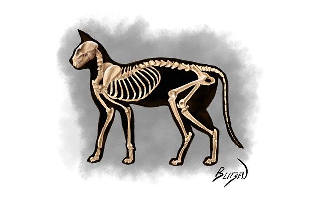 Anatomia del corpo di un gatto con scheletro - Disegno Blitzen