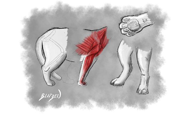 Anatomia degli arti e delle zampe di un gatto - Disegno Blitzen